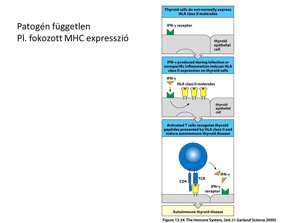 Patogén független Pl. fokozott MHC expresszió