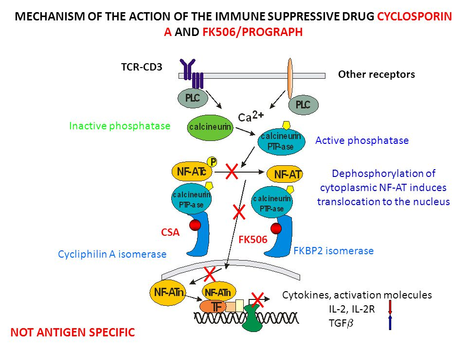 MECHANISM OF THE ACTION OF THE IMMUNE SUPPRESSIVE DRUG CYCLOSPORIN A AND FK506/PROGRAPH