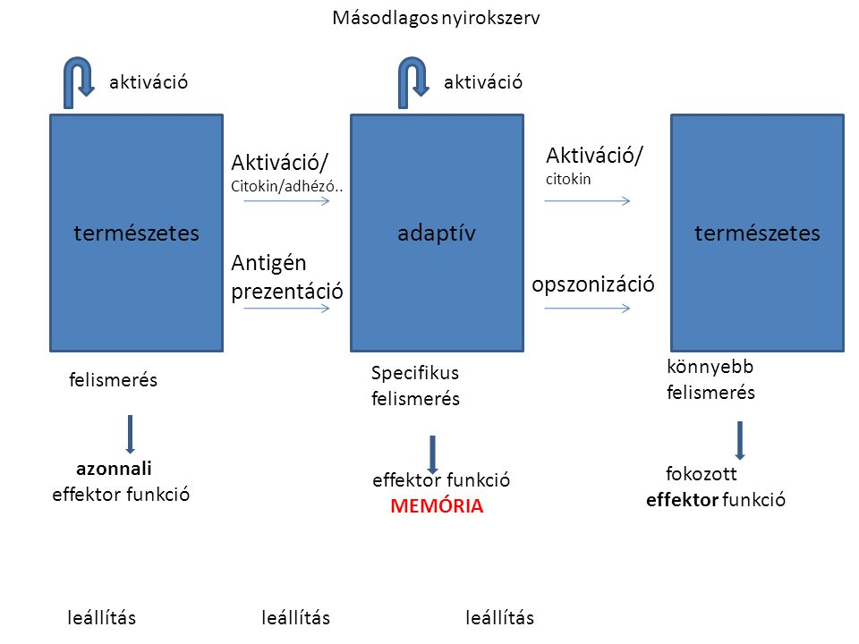 természetes adaptív természetes Aktiváció/ Aktiváció/ Antigén