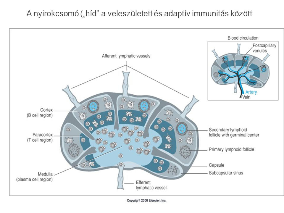 """A nyirokcsomó (""""híd a veleszületett és adaptív immunitás között"""