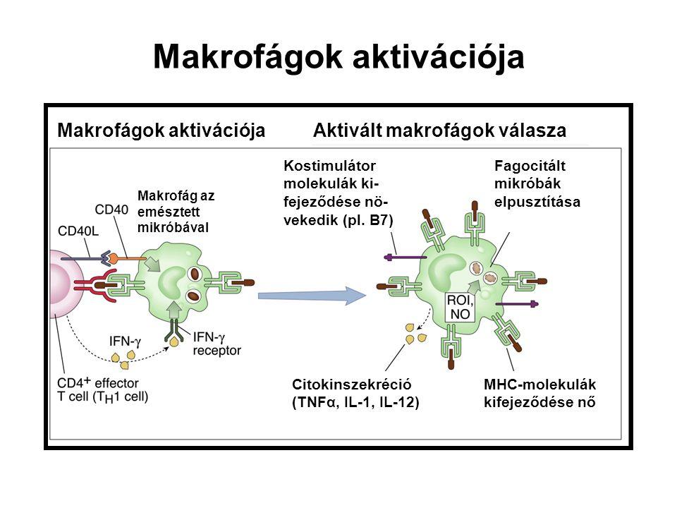 Makrofágok aktivációja