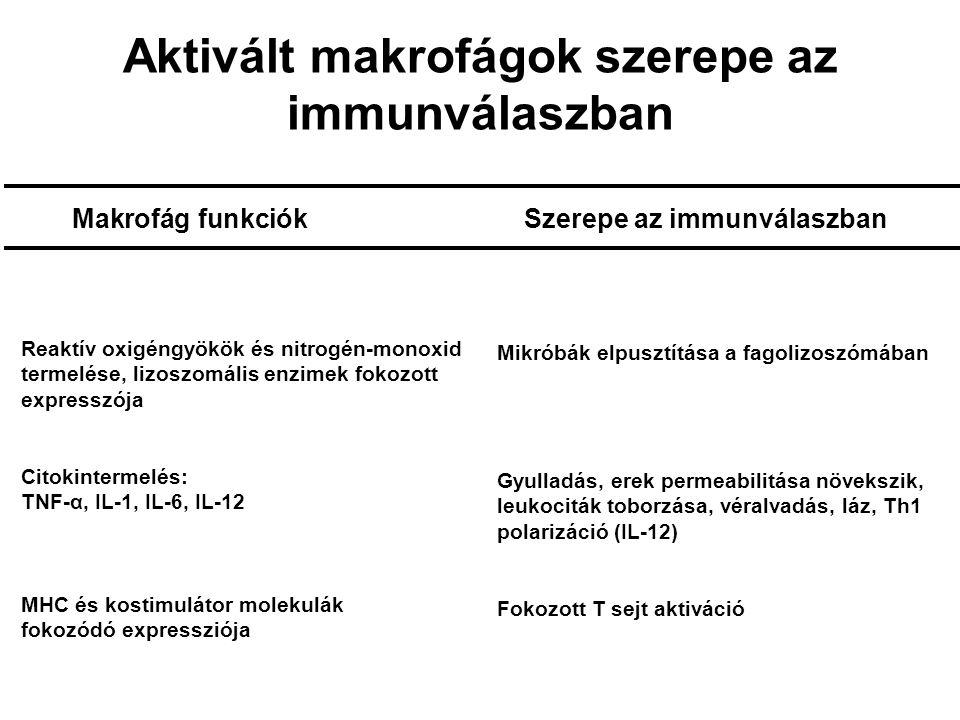 Aktivált makrofágok szerepe az immunválaszban