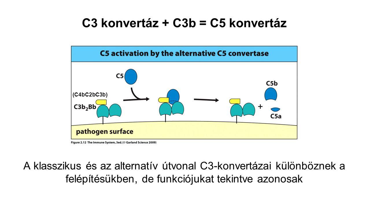C3 konvertáz + C3b = C5 konvertáz
