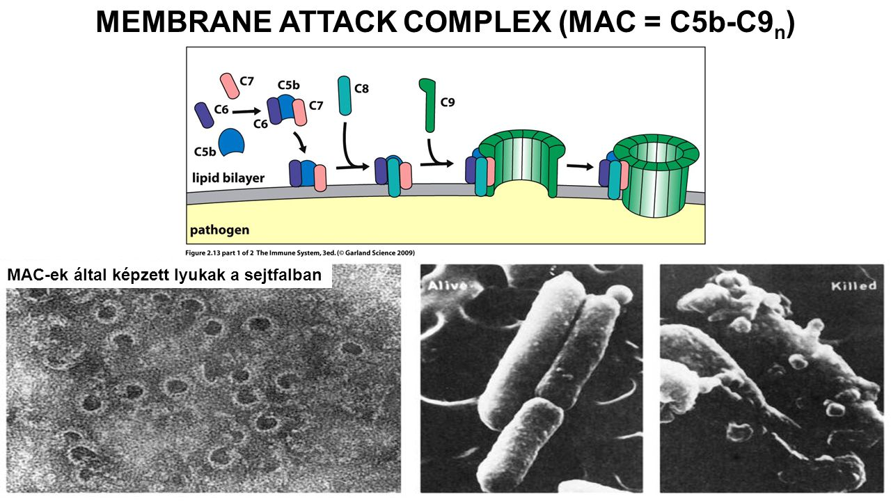 MEMBRANE ATTACK COMPLEX (MAC = C5b-C9n)