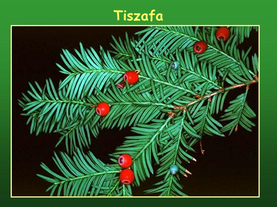 Tiszafa