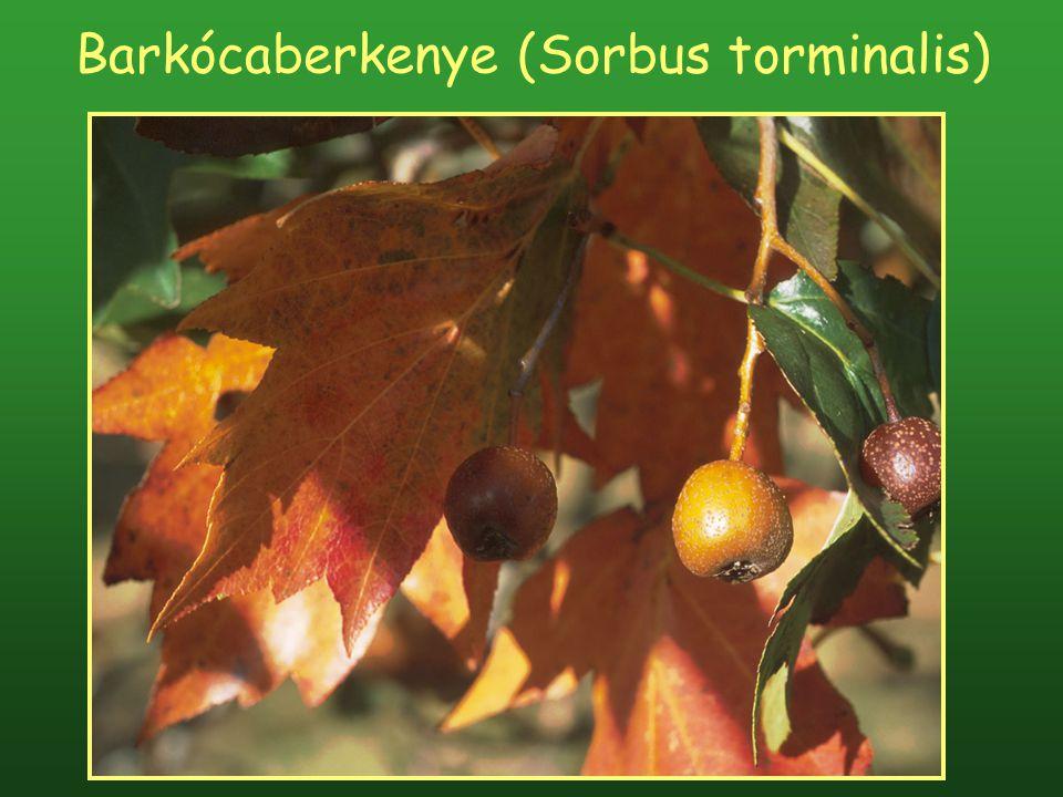 Barkócaberkenye (Sorbus torminalis)