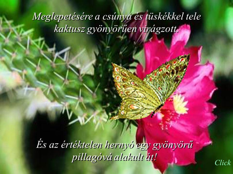 Meglepetésére a csúnya és tüskékkel tele kaktusz gyönyörűen virágzott.