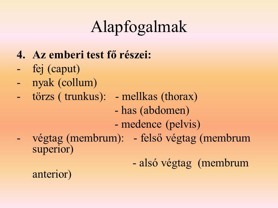 Alapfogalmak Az emberi test fő részei: fej (caput) nyak (collum)