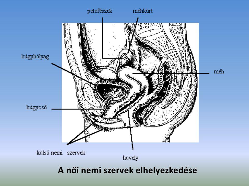 A női nemi szervek elhelyezkedése