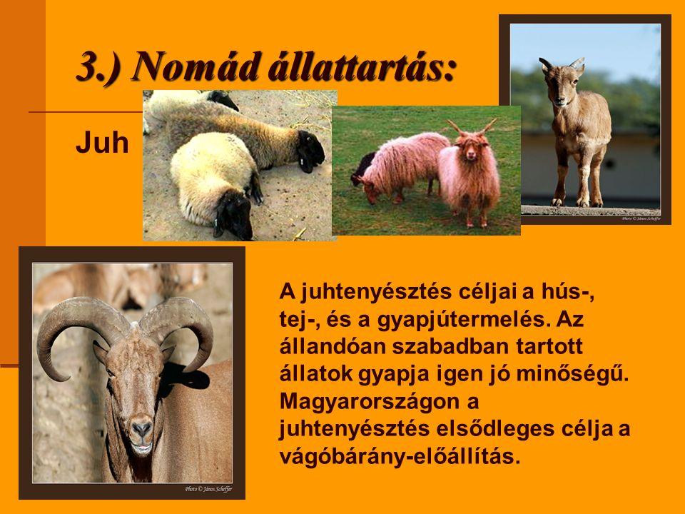 3.) Nomád állattartás: Juh