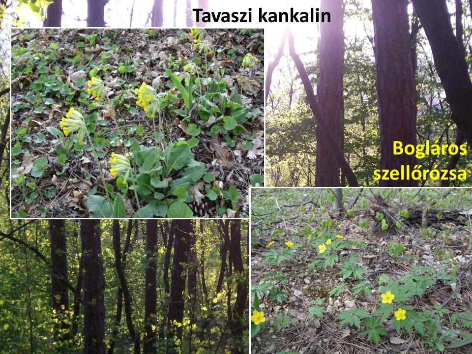 Tavaszi kankalin Bogláros szellőrózsa