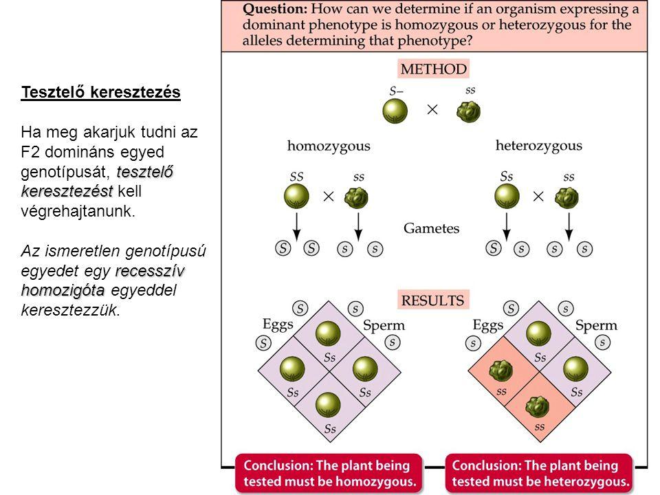 Tesztelő keresztezés Ha meg akarjuk tudni az F2 domináns egyed genotípusát, tesztelő keresztezést kell végrehajtanunk.