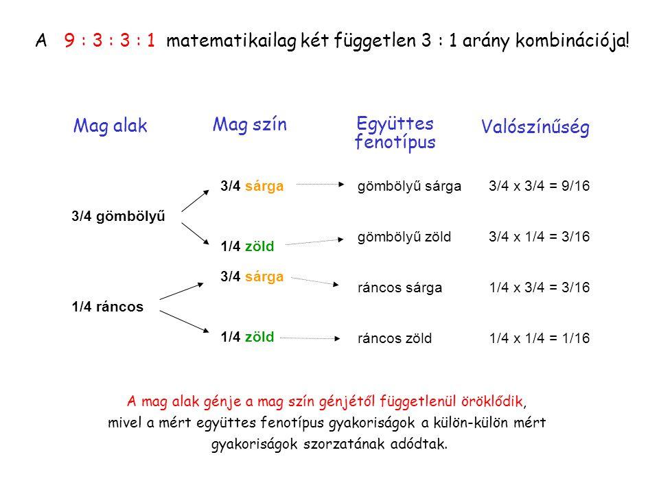 A 9 : 3 : 3 : 1 matematikailag két független 3 : 1 arány kombinációja!