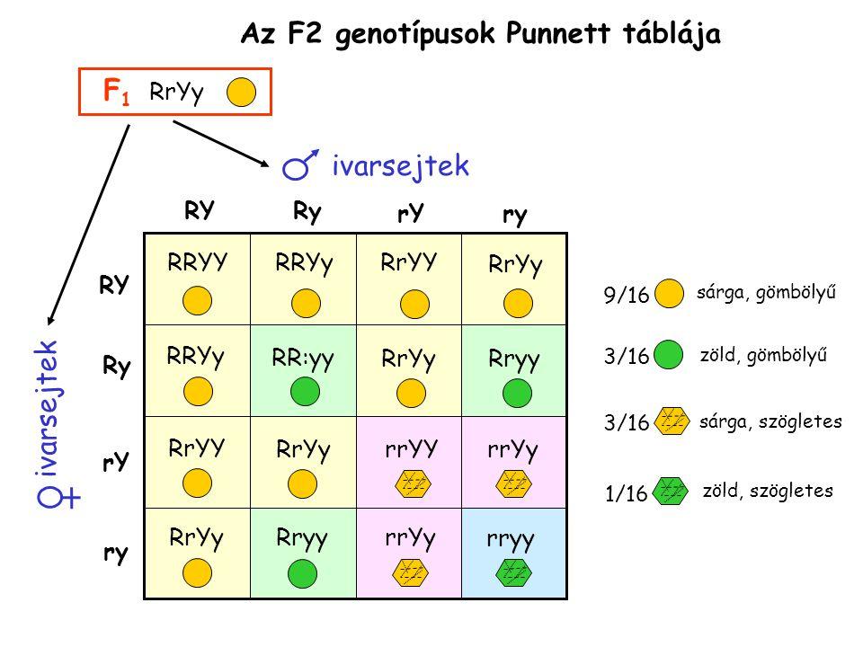 Az F2 genotípusok Punnett táblája