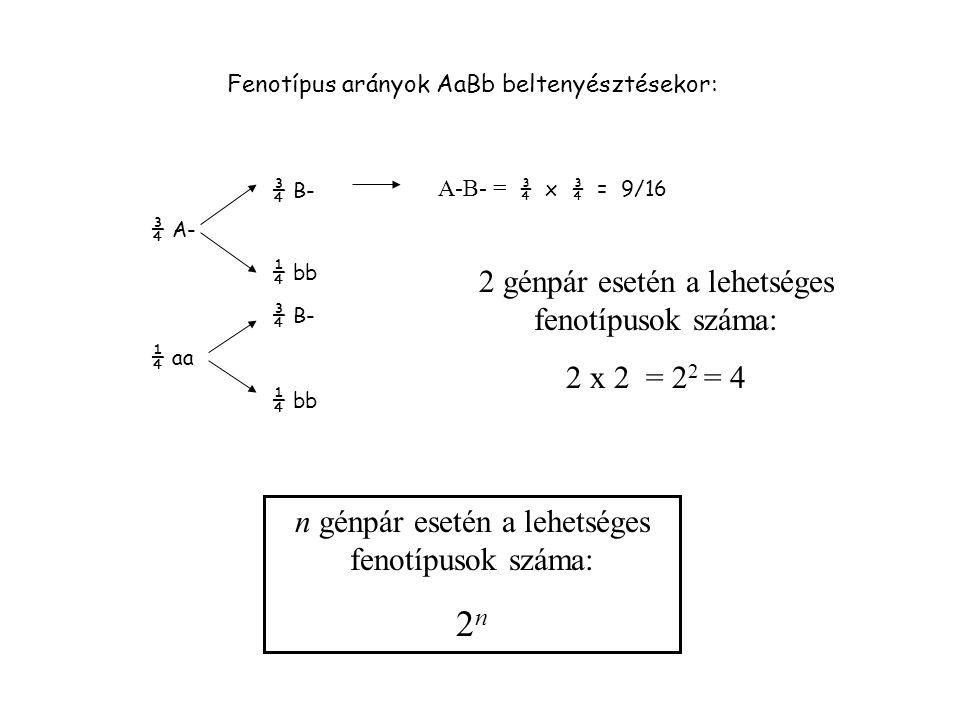 2n 2 génpár esetén a lehetséges fenotípusok száma: 2 x 2 = 22 = 4