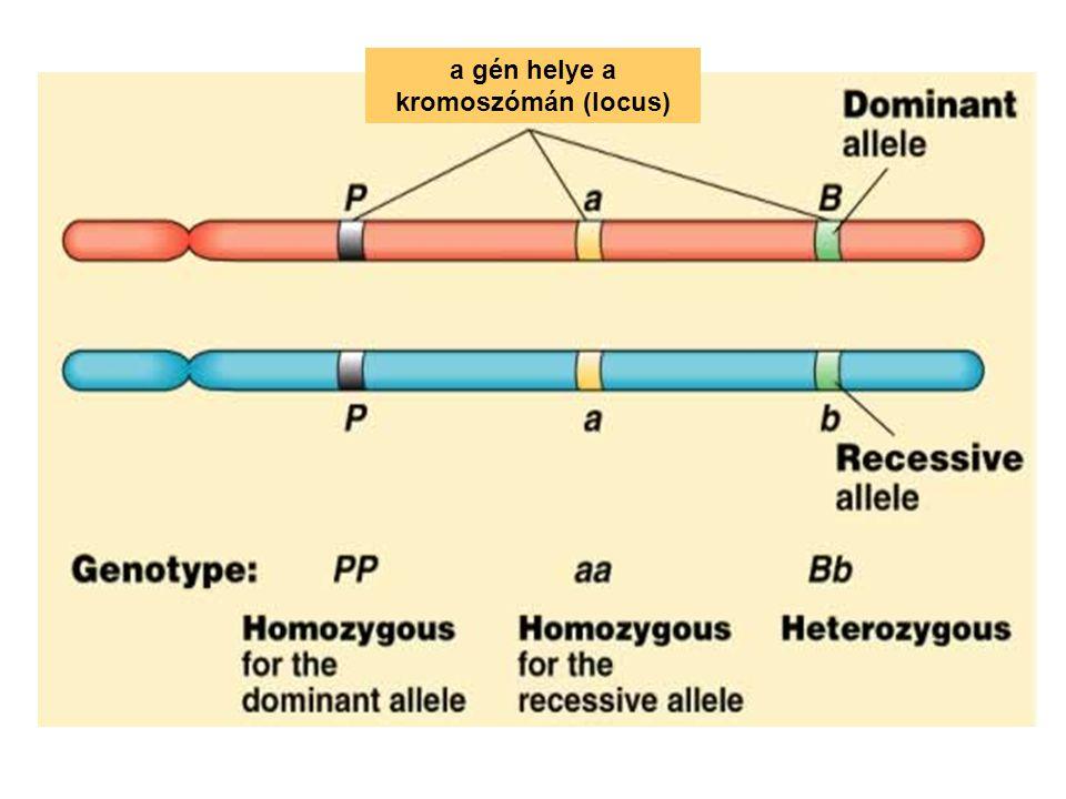 a gén helye a kromoszómán (locus)