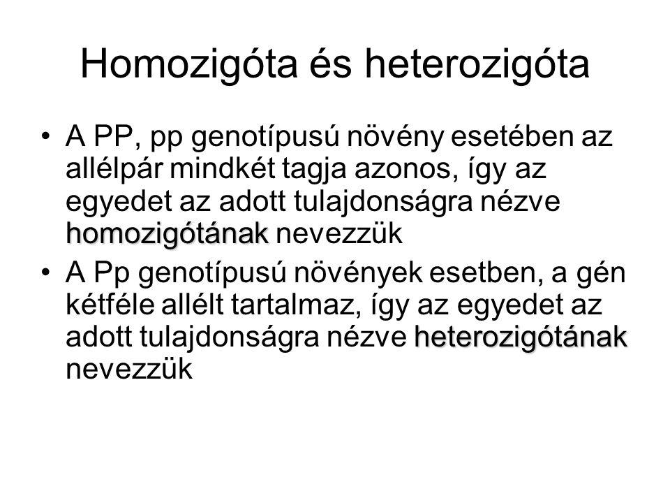 Homozigóta és heterozigóta