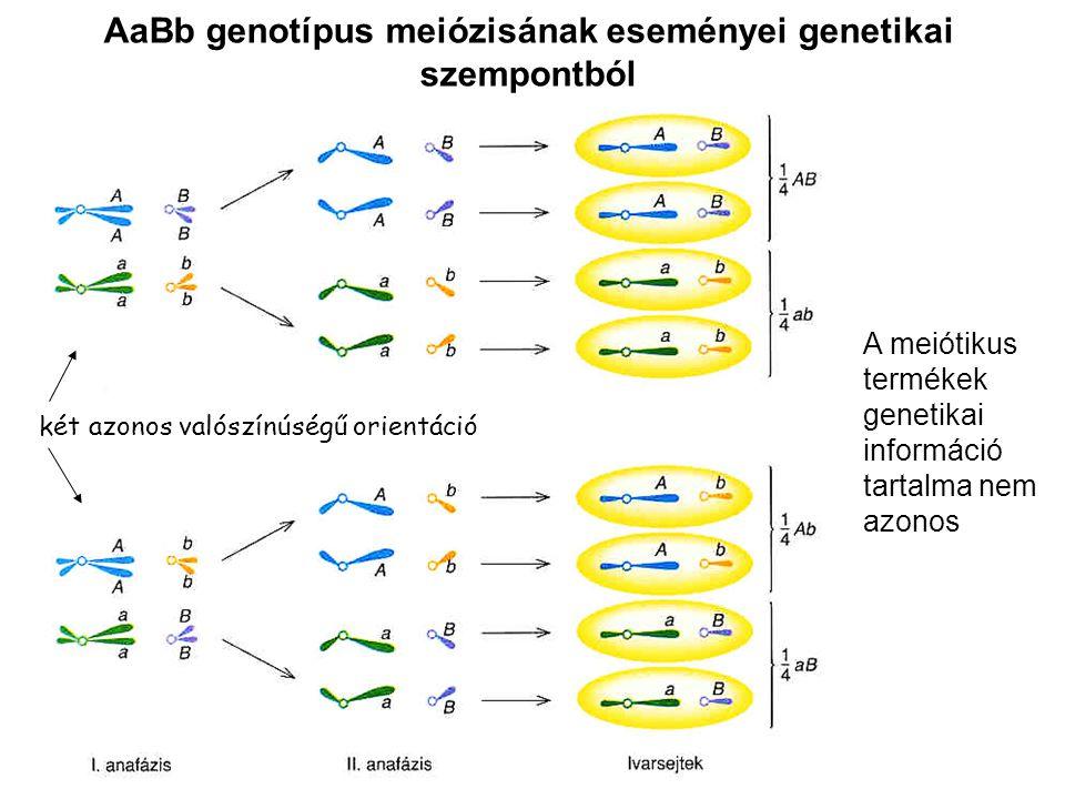 AaBb genotípus meiózisának eseményei genetikai szempontból