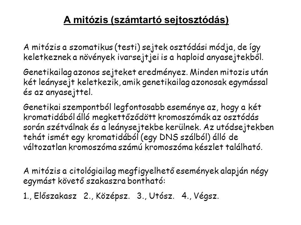A mitózis (számtartó sejtosztódás)