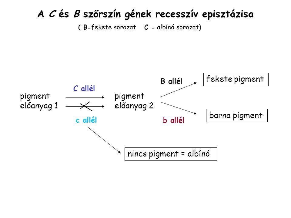 A C és B szőrszín gének recesszív episztázisa