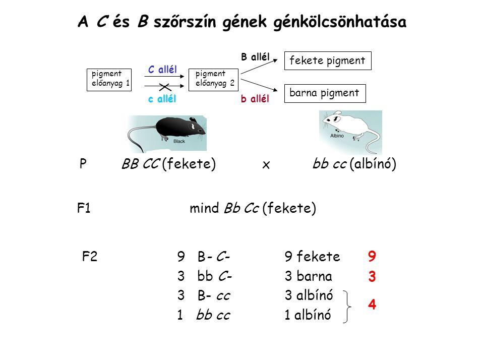 A C és B szőrszín gének génkölcsönhatása