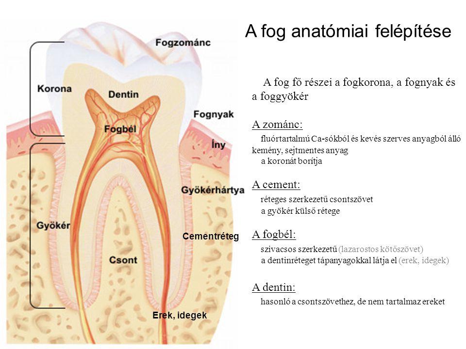 A fog anatómiai felépítése