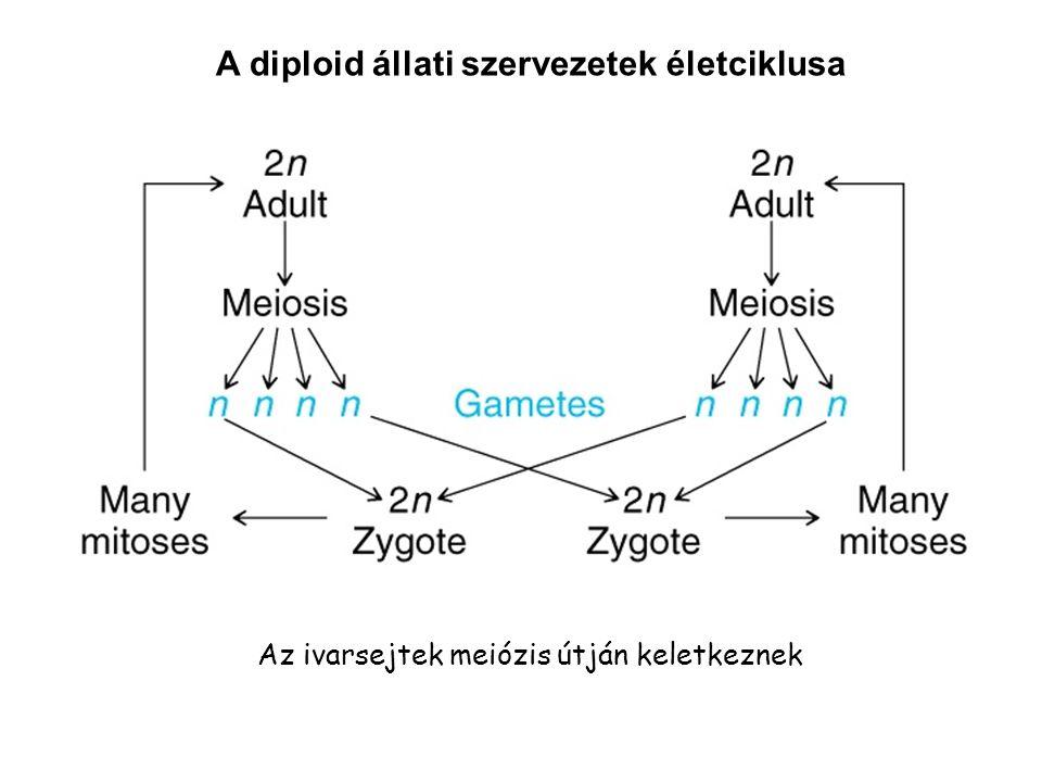 A diploid állati szervezetek életciklusa