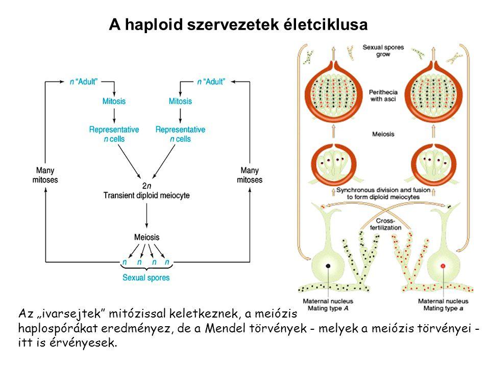 A haploid szervezetek életciklusa