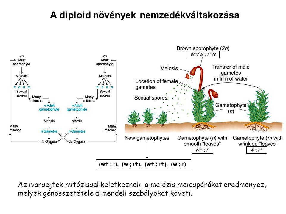 A diploid növények nemzedékváltakozása