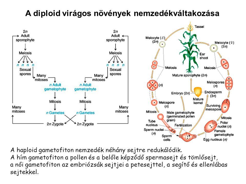 A diploid virágos növények nemzedékváltakozása