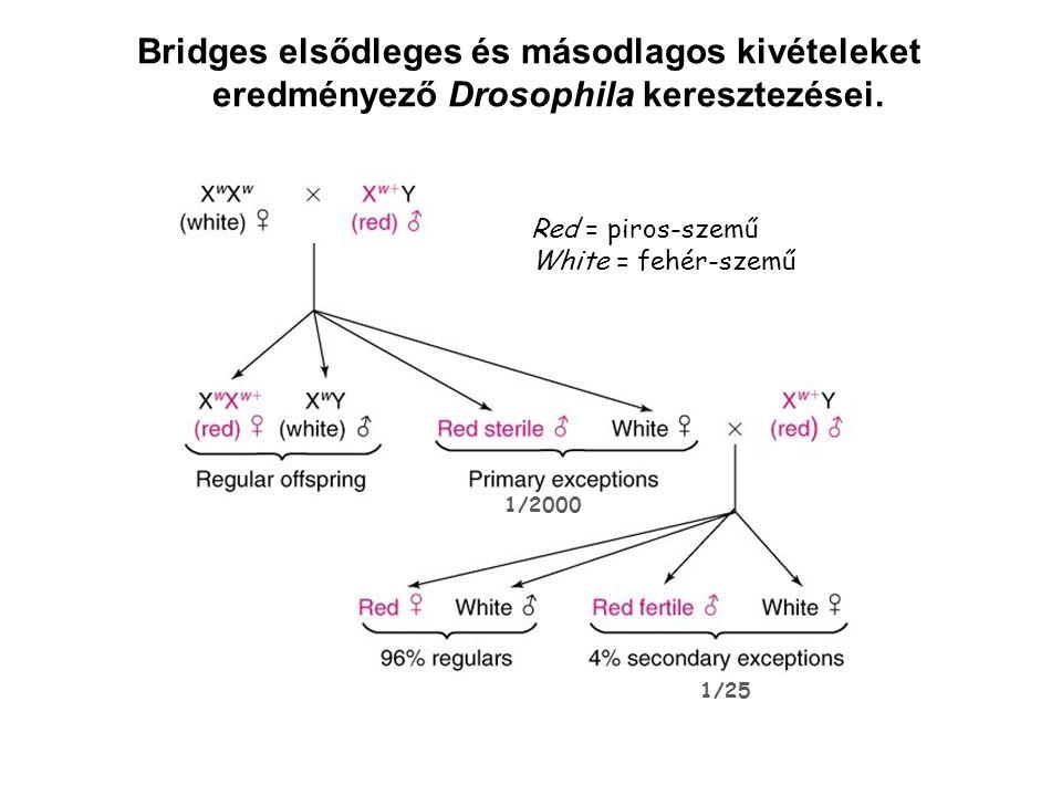 Bridges elsődleges és másodlagos kivételeket eredményező Drosophila keresztezései.