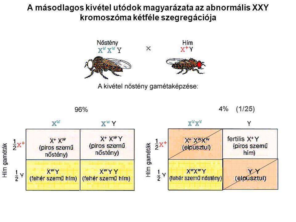 A másodlagos kivétel utódok magyarázata az abnormális XXY kromoszóma kétféle szegregációja