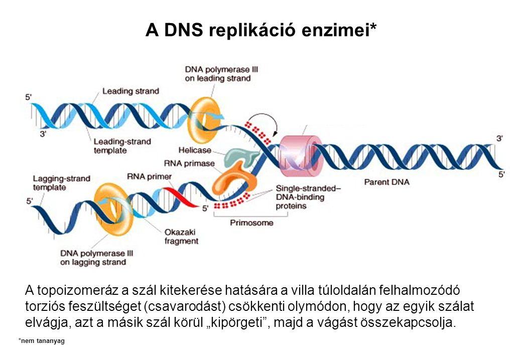 A DNS replikáció enzimei*
