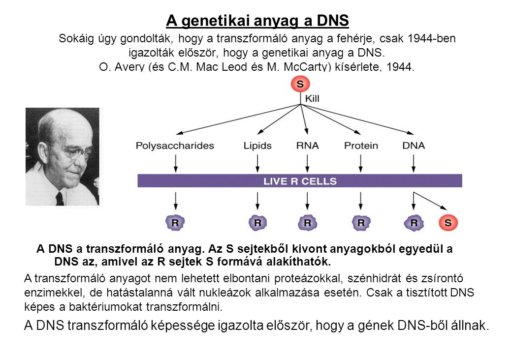 A genetikai anyag a DNS