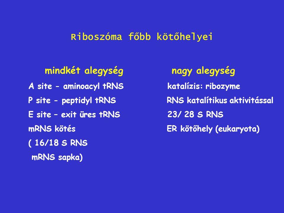 Riboszóma főbb kötőhelyei