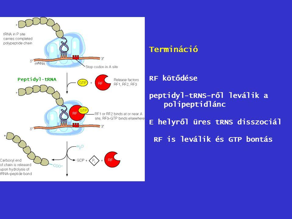 Termináció RF kötődése peptidyl-tRNS-ről leválik a polipeptidlánc