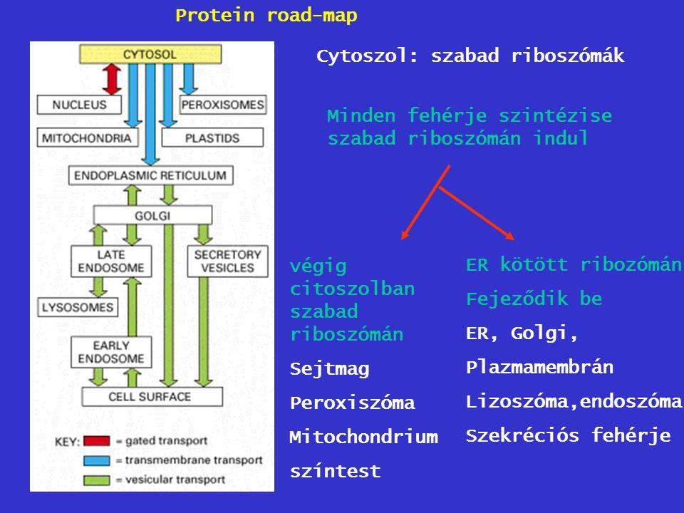 Protein road-map Cytoszol: szabad riboszómák. Minden fehérje szintézise szabad riboszómán indul. végig citoszolban szabad riboszómán.