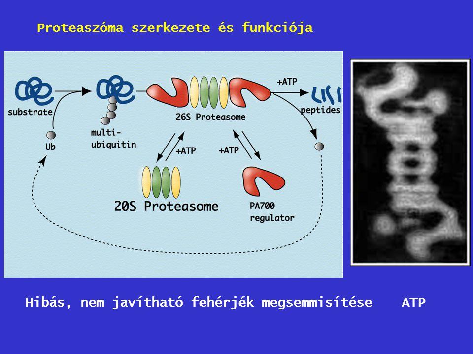 Proteaszóma szerkezete és funkciója
