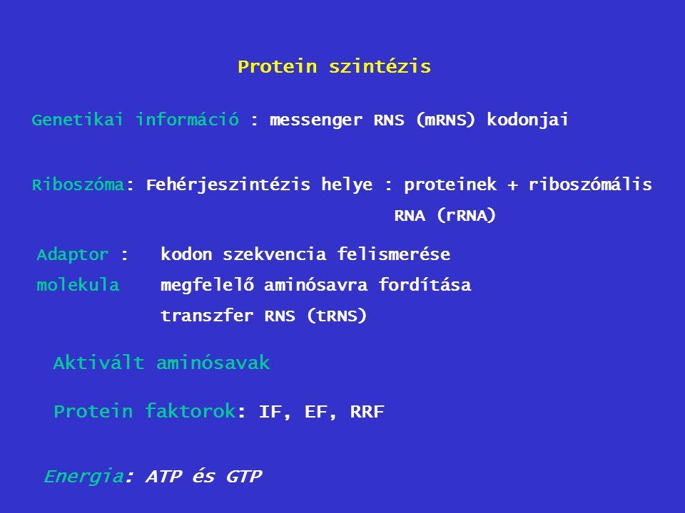 Protein faktorok: IF, EF, RRF