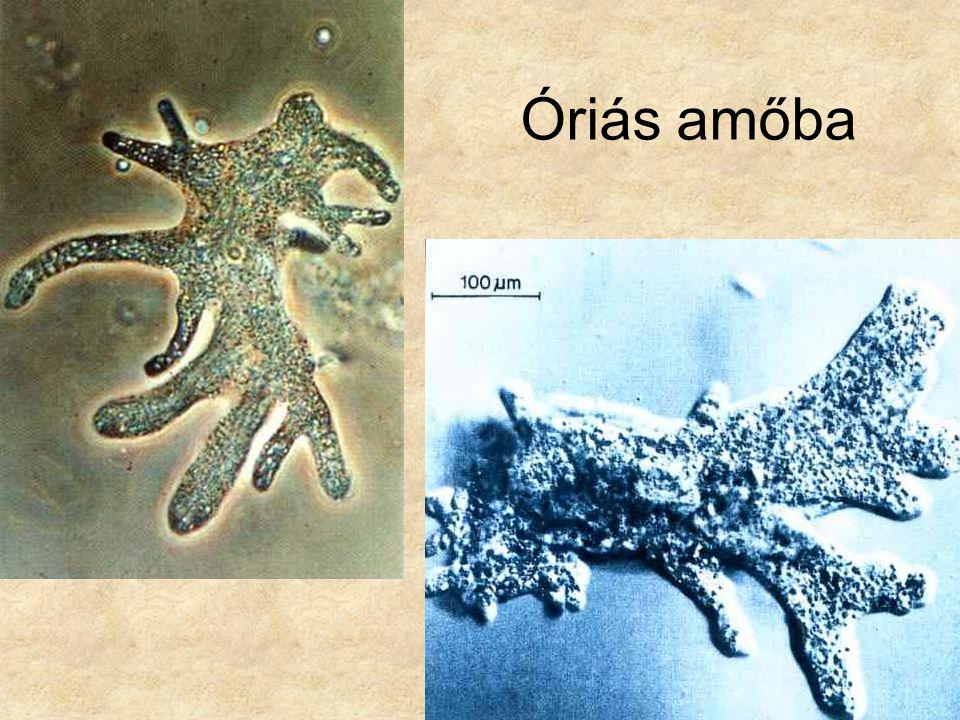 Óriás amőba Bal oldali kép: Lovas: Édesvízi parányok 2. (állatok) Búvár zsebkönyvek, Móra Kiadó.