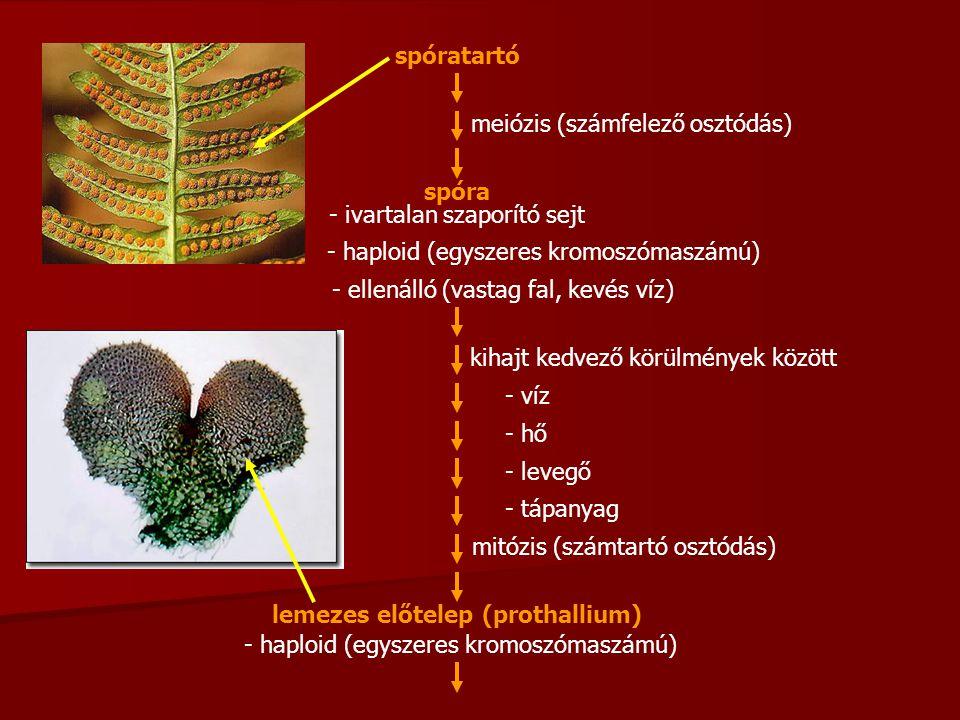 meiózis (számfelező osztódás)