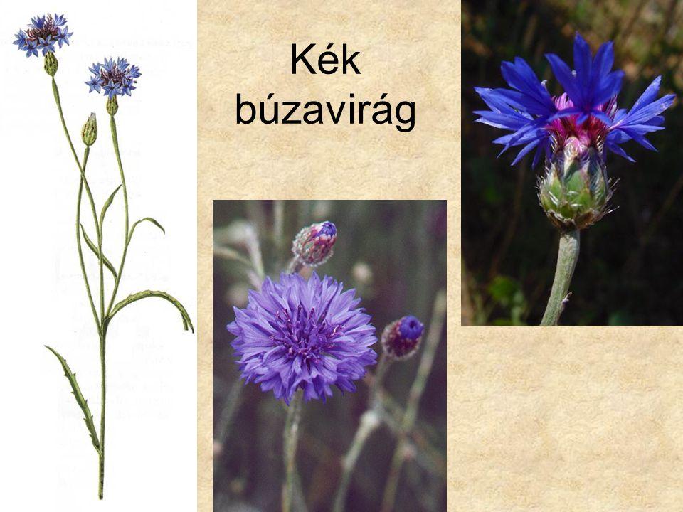 Kék búzavirág Bal oldali kép: Gyomnövények (Búvár zsebkönyvek), Móra kiadó 1987.