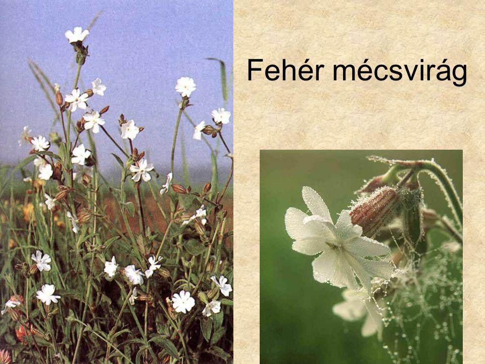 Fehér mécsvirág Bal oldali kép: Bertram: Közép-Európa vadvirágai, Magyar Könyvklub Természetkalauz sorozat, 1998.