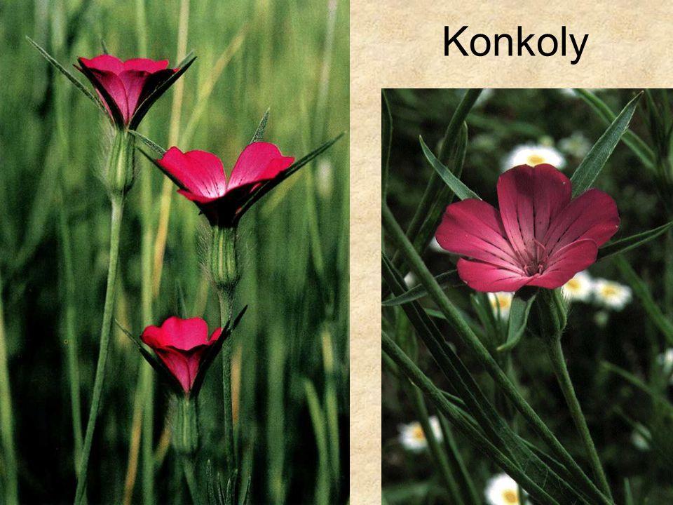 Konkoly Jobb oldali kép: Szerk. Farkas Sándor: Magyarország védett növényei, Mezőgazda Kiadó 1999.