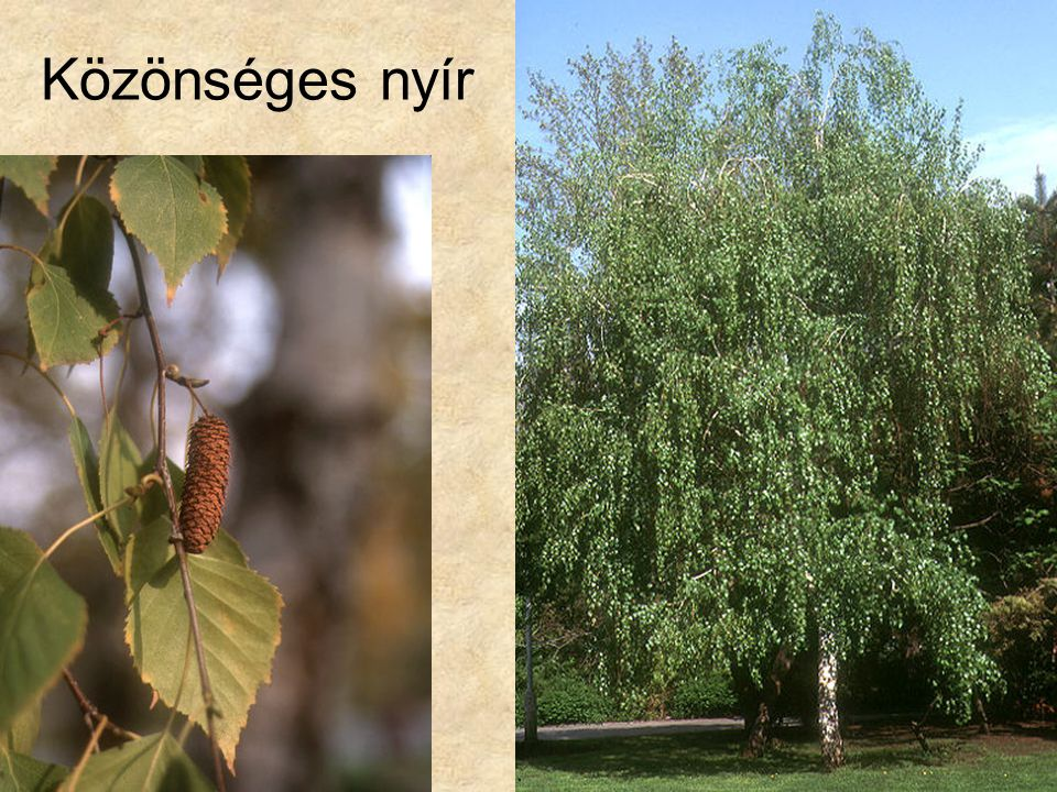 Közönséges nyír Fák és cserjék CD, Kossuth Kiadó