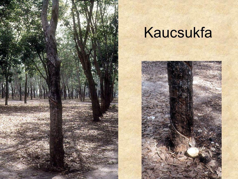 Kaucsukfa Ázsia CD, Kossuth kiadó
