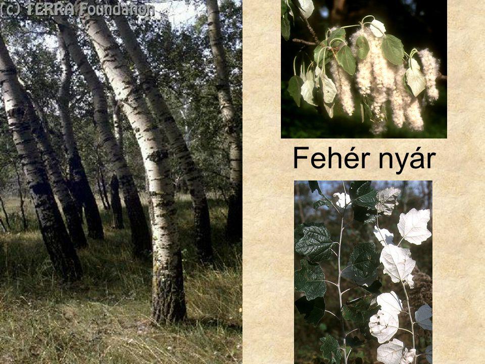 Fehér nyár Bal oldai kép: Hazánk növényvilága CD, Terra alapítvány