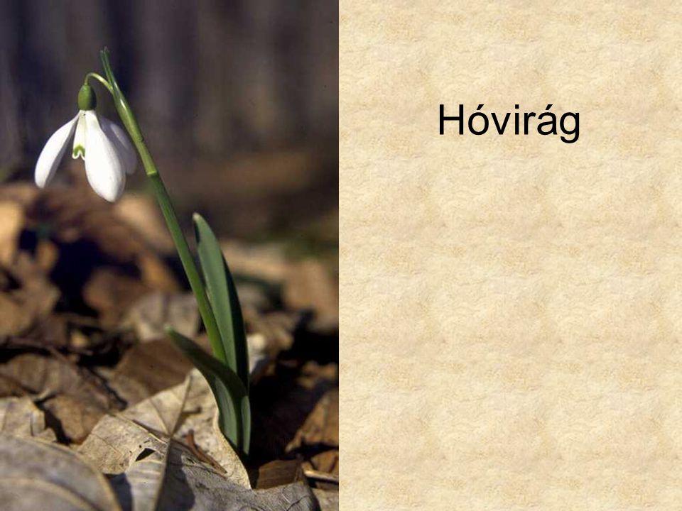 Hóvirág Hazánk növényvilága CD, Terra alapítvány