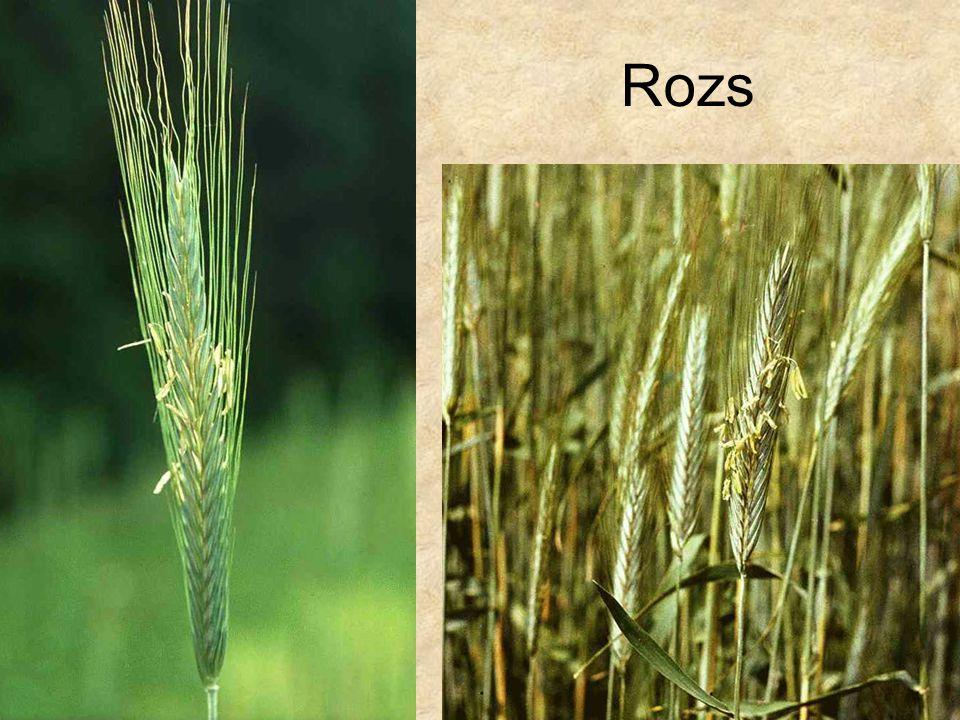 Rozs HERBÁRIUM – Magyarország növényei CD, Kossuth Kiadó