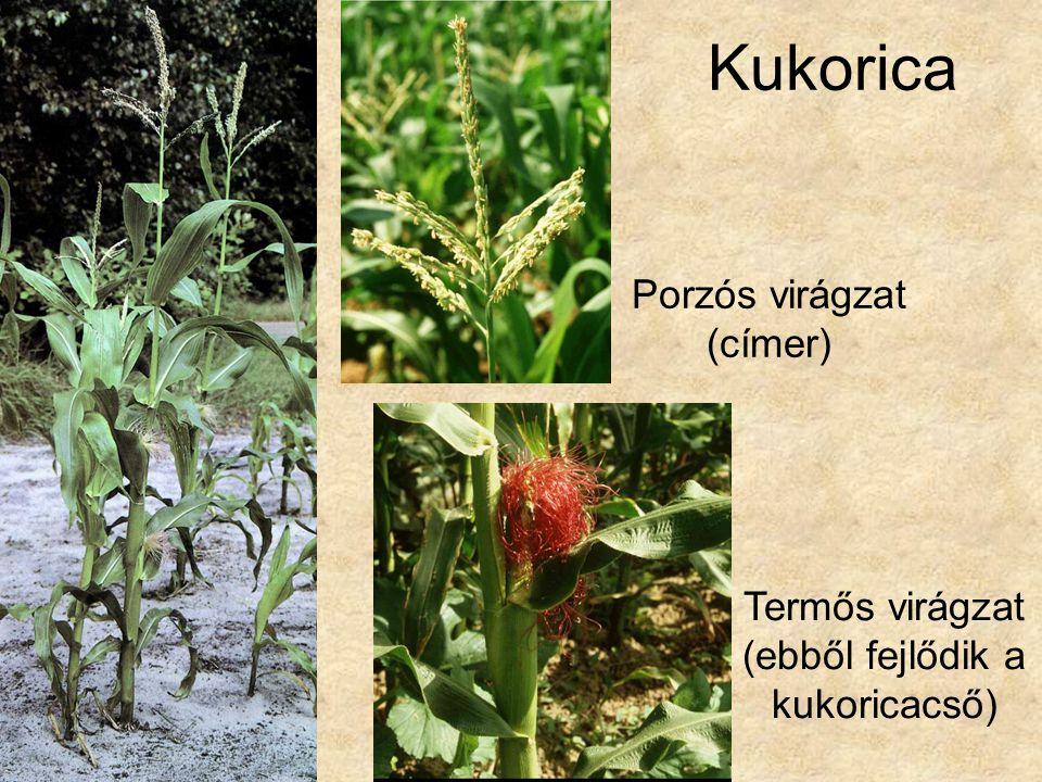 Kukorica Porzós virágzat (címer)